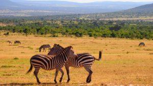 Zebre nella savana del Kenya