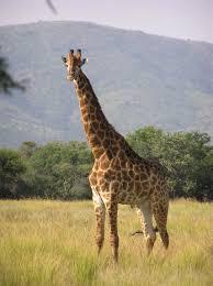 Animali, una giraffa