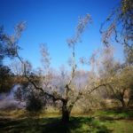 Olio, Un olivo della Tuscia viterbese