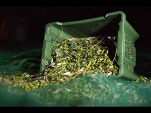 """Olio, Le olive, l'""""oro verde"""" dell'Italia"""